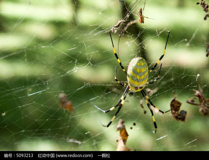 捉虫子的大肚子蜘蛛高清图片下载 红动网