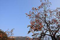 果实累累的柿子树