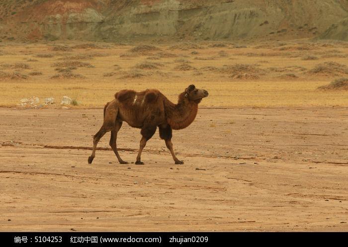 沙漠骆驼图片,高清大图