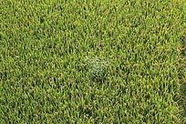 稻田中的杂草堆