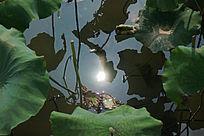 人工湖中荷叶中的光点