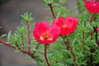 两朵红色小花