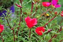 蜜蜂与红色小花