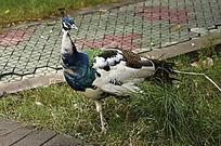 脱去长尾的白孔雀