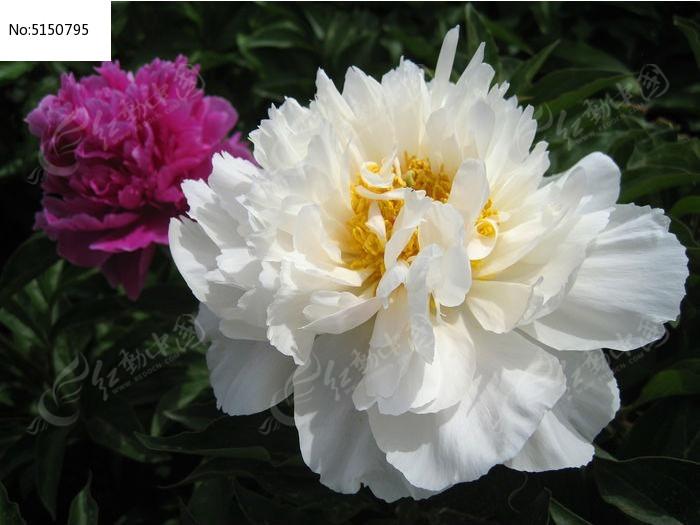 原创摄影图 动物植物 花卉花草 白色牡丹花  请您分享: 红动网提供
