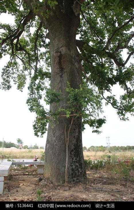 原创摄影图 动物植物 树木枝叶 大树底下好乘凉