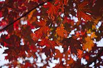 火红的枫树叶