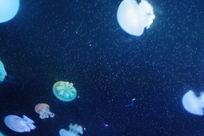 世界上美丽的浮游生物水母