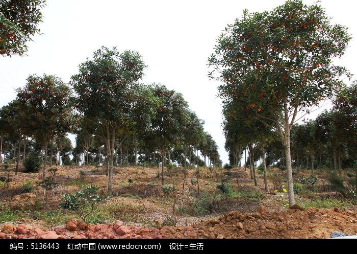 一大片桂花林图片,高清大图_树木枝叶素材