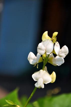 白色的刀豆花