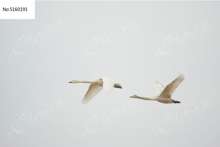 飞行的两只天鹅图片,高清大图_空中动物素材