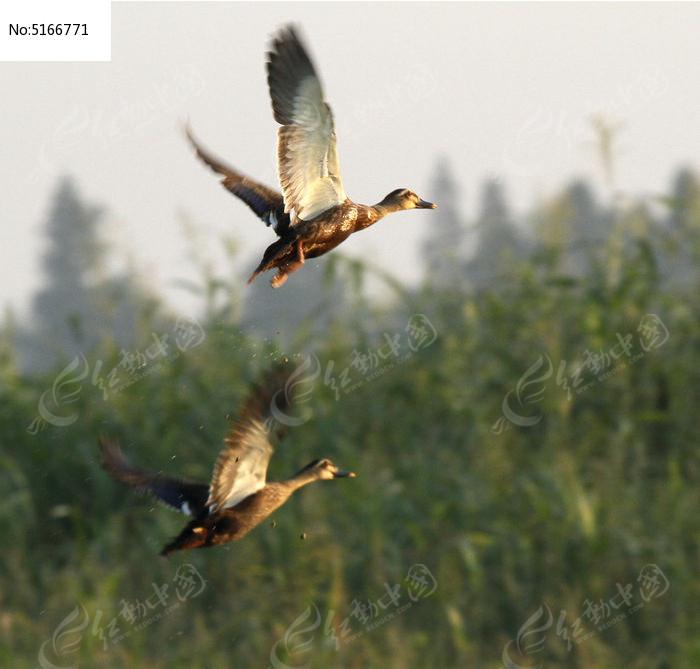 素材 湿地/湿地 水鸟水域沼泽湖水倒影 湿地风光生态系统自然景观 湿地...