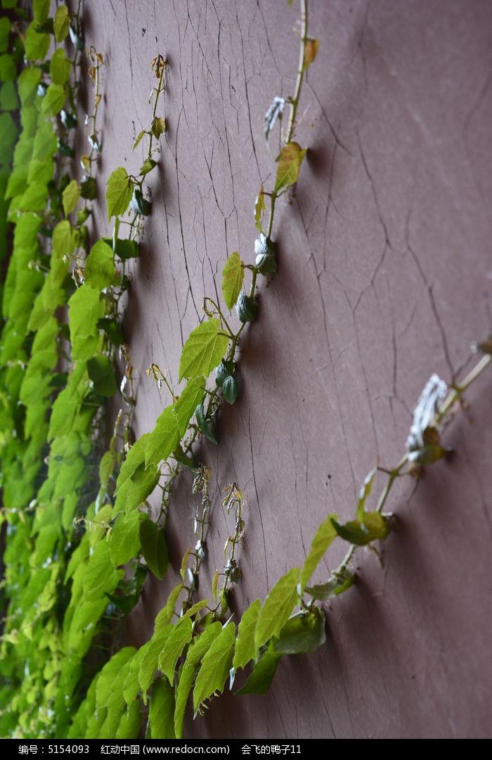原创摄影图 动物植物 花卉花草 墙壁的爬山虎