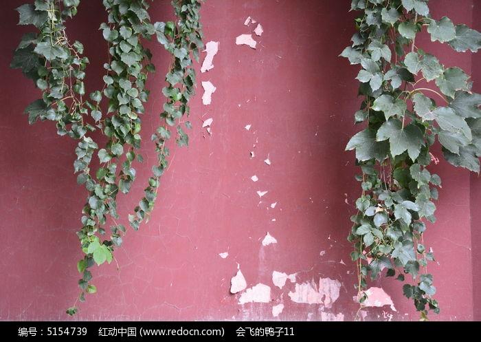 原创摄影图 动物植物 花卉花草 墙上的绿色植物爬山虎  请您分享: 红