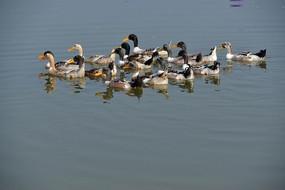 水面上的一群鸭子