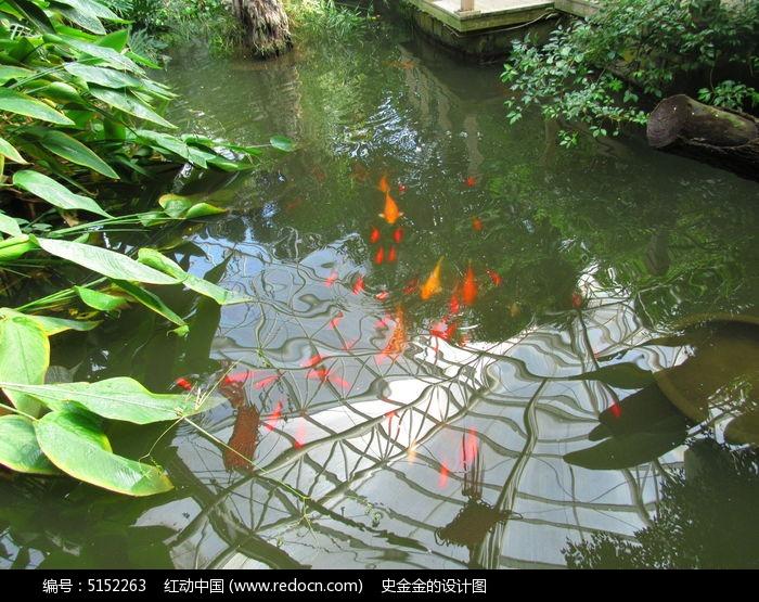 红鲤鱼 水中鱼 红鲤鱼在游泳