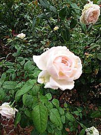 白色玫瑰图
