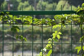 防护栏上缠绕的绿色藤蔓