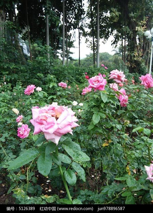 漂亮玫瑰花图片