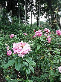 漂亮玫瑰花
