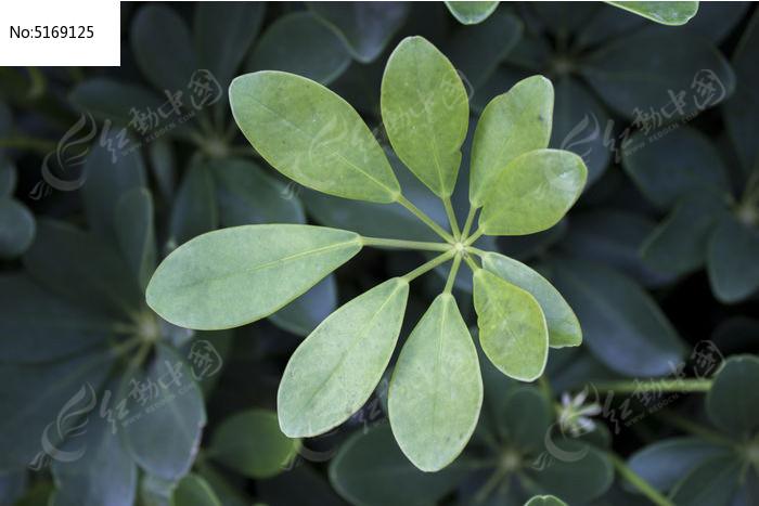原创摄影图 动物植物 树木枝叶 叶子  请您分享: 红动网提供树木枝叶