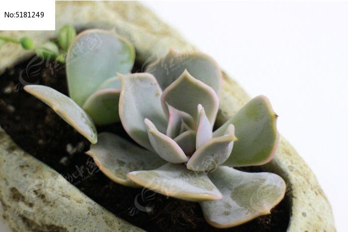 欧式石头花盆适合种什么花卉