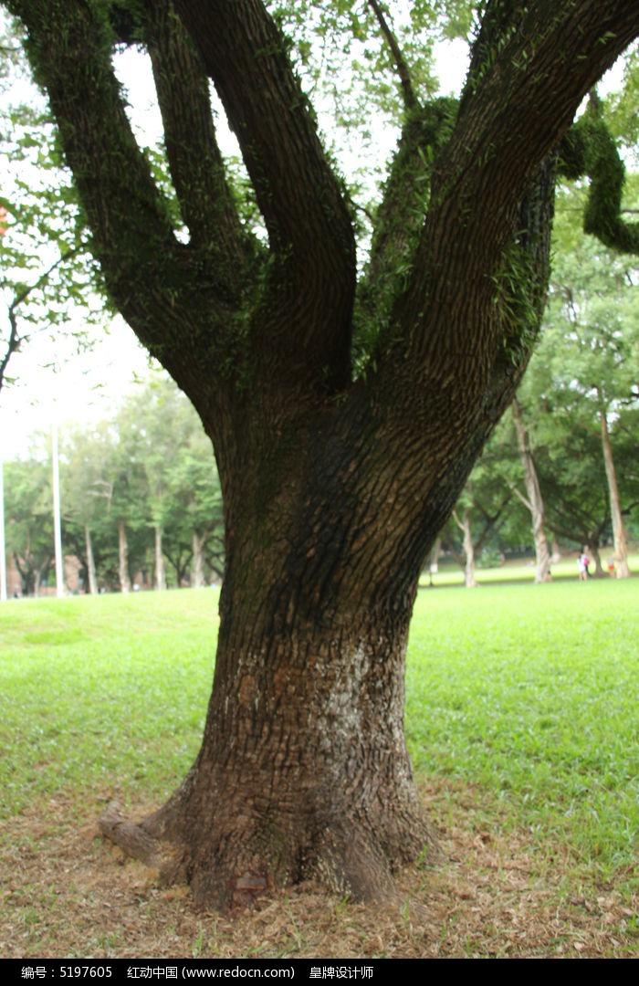 中大古樟树图片,高清大图_树木枝叶素材_编号5197605