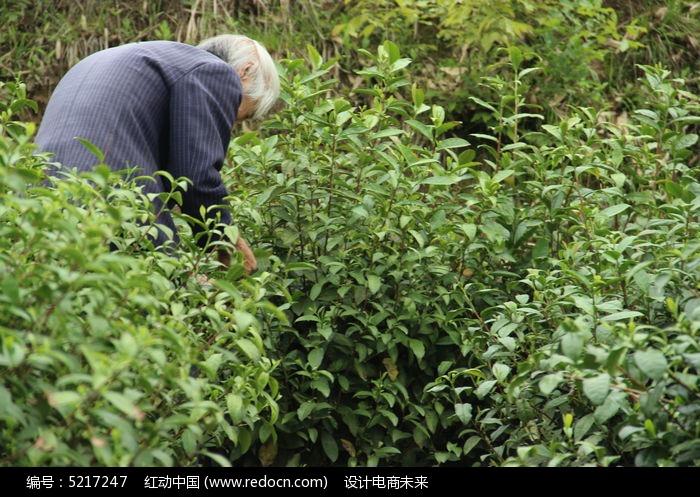 原创摄影图 自然风景 森林树林 茶园