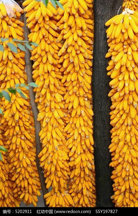 原创摄影图 动物植物 农作物 成熟的玉米