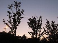夕阳下的树枝