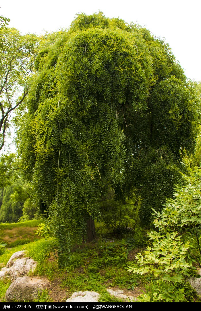 垂叶槐树图片