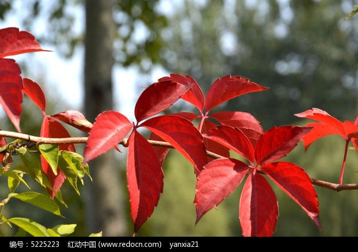 原创摄影图 动物植物 树木枝叶 秋天红叶  请您分享: 红动网提供树木