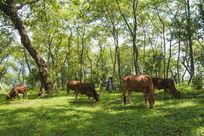 野外吃草的牛