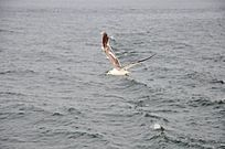海面上飞行的一只海鸥