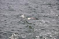 海水上的海鸥