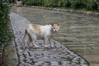 回头瞻望的白色老猫
