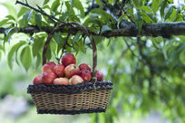篮子里的水蜜桃