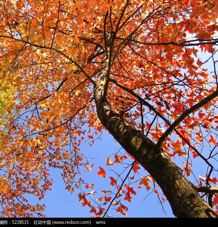 原创摄影图 动物植物 树木枝叶 秋天的枫树