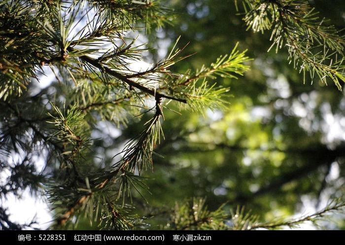 阳光照射的松树图片,高清大图