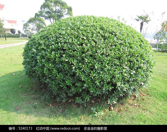 原创摄影图 动物植物 树木枝叶 大棵冬青树  请您分享: 红动网提供