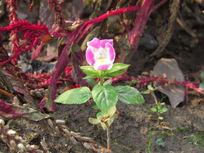 粉色花朵特写