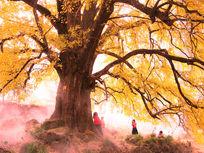 金黄色的千年银杏树