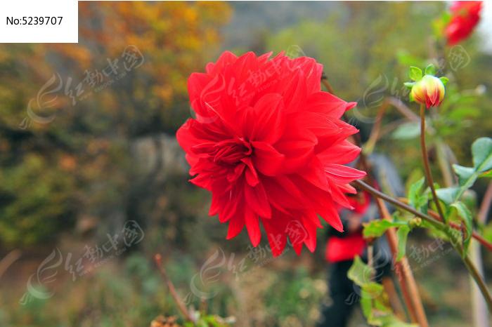 素材描述:红动网提供花卉花草精美高清图片下载,您当前访问图片主题是一朵大红花,编号是5239707, 文件格式是JPG,拍摄设备是NIKON D700,您下载的是一个压缩包文件,请解压后再使用看图软件打开,色彩模式是RGB,图片像素是4256*2832像素,素材大小 是1.78 MB。