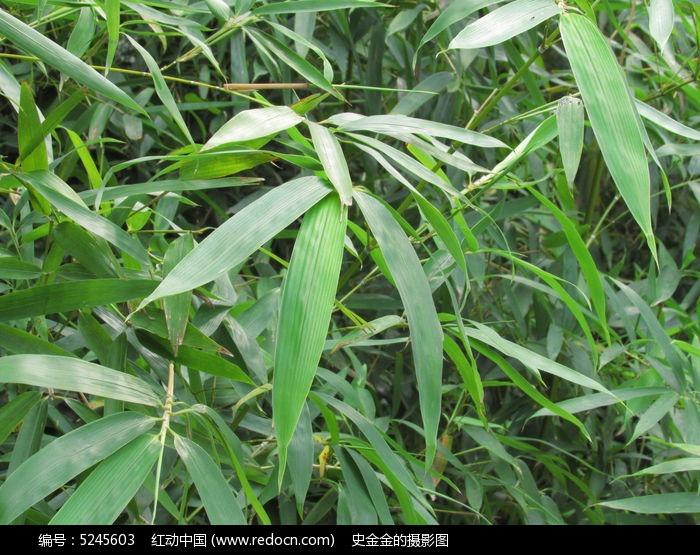 原创摄影图 动物植物 树木枝叶 竹叶写真