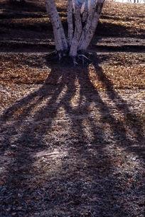 白桦树光影