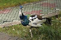 好奇的白孔雀
