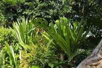 流花湖大叶植物