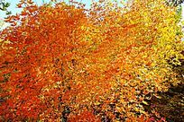 满树的红叶