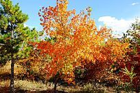 秋天的枫树和红叶