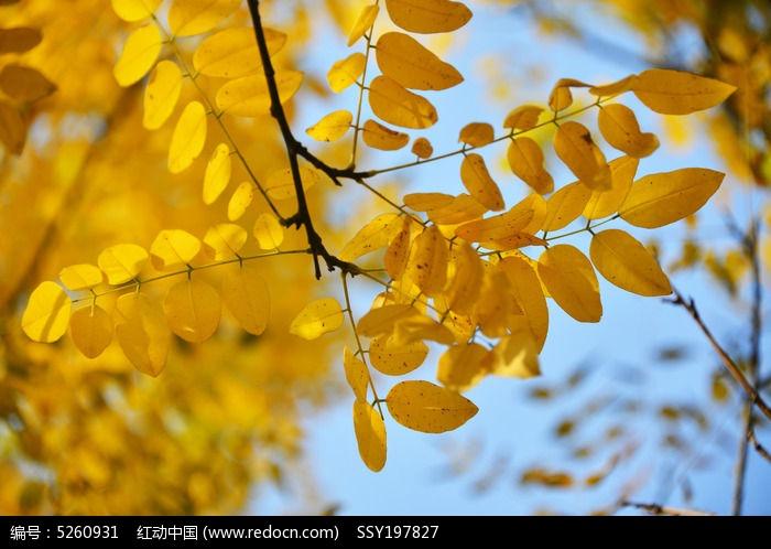 原创摄影图 qq怎么弄指定红包植物 树木枝叶 秋天金黄色的树叶
